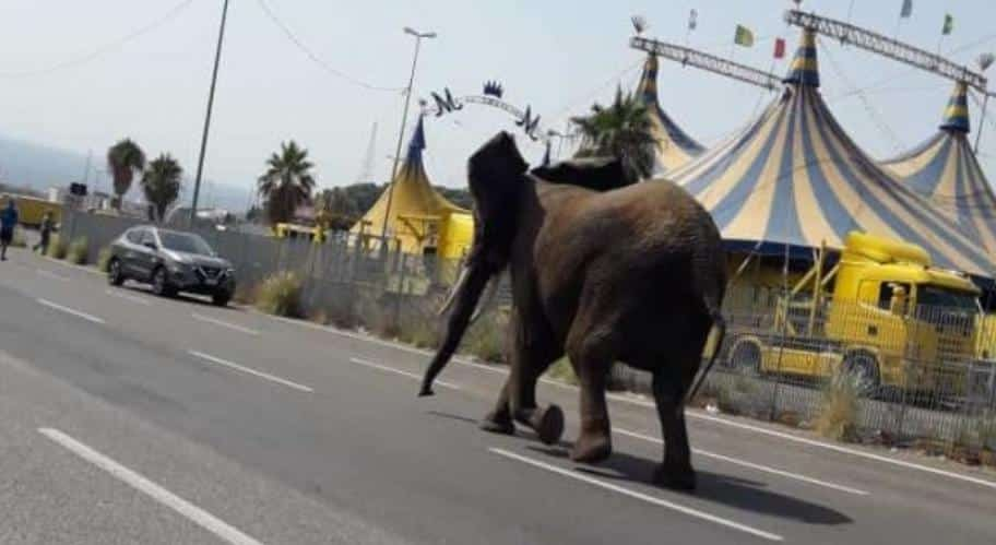 Elefante nei pressi dello stadio, indisturbato a spasso per la città: è fuggito dal circo