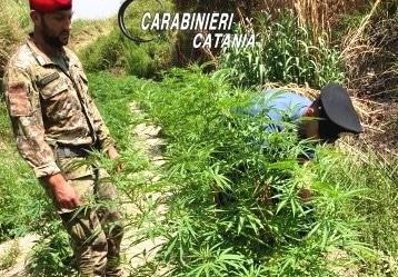 """Piante di cannabis in casa; foglio dei """"clienti"""", materiale e droga: arrestato 39enne del Catanese"""
