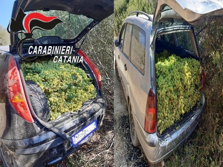 Rubano uva pregiata in quantità da azienda agricola, ma vengono sorpresi dai carabinieri: refurtiva recuperata
