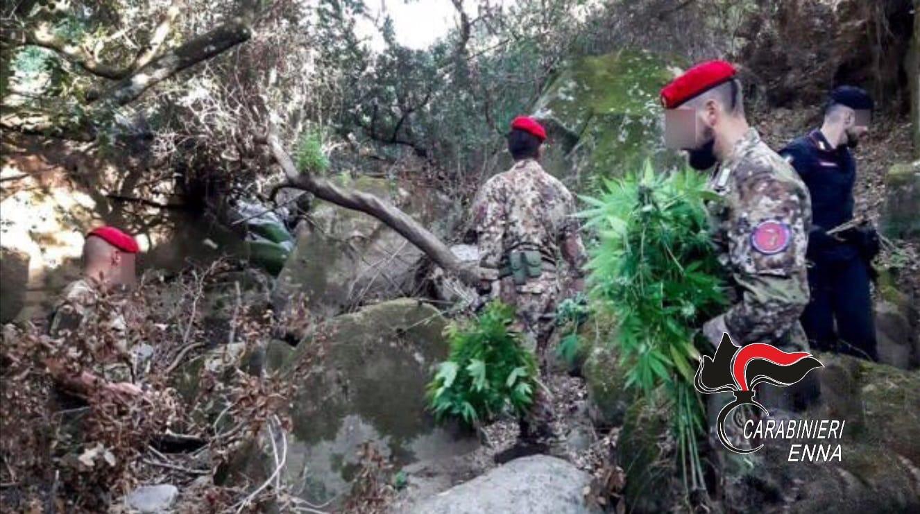 Catanese ricercato da due anni, innaffiava piante di marijuana a Enna: arrestato con un complice
