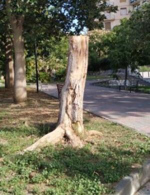 Capitozzatura degli alberi quartiere Borgo-Sanzio